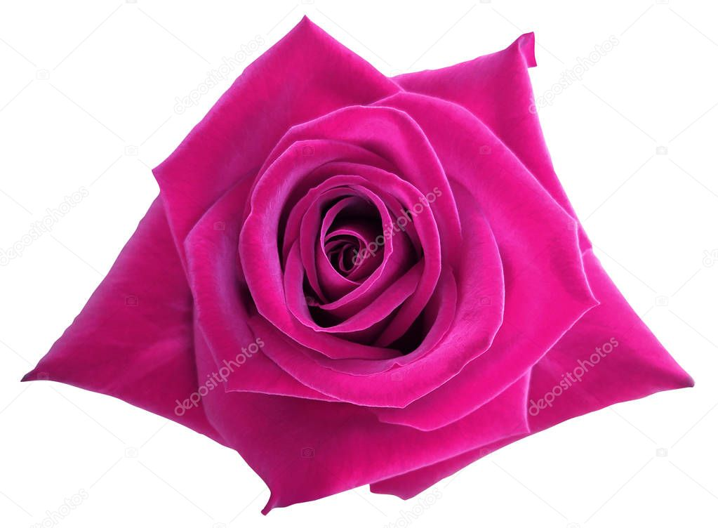 Pink rose flower  on white isolated background with clipping path.  no shadows. Closeup.  Nature.