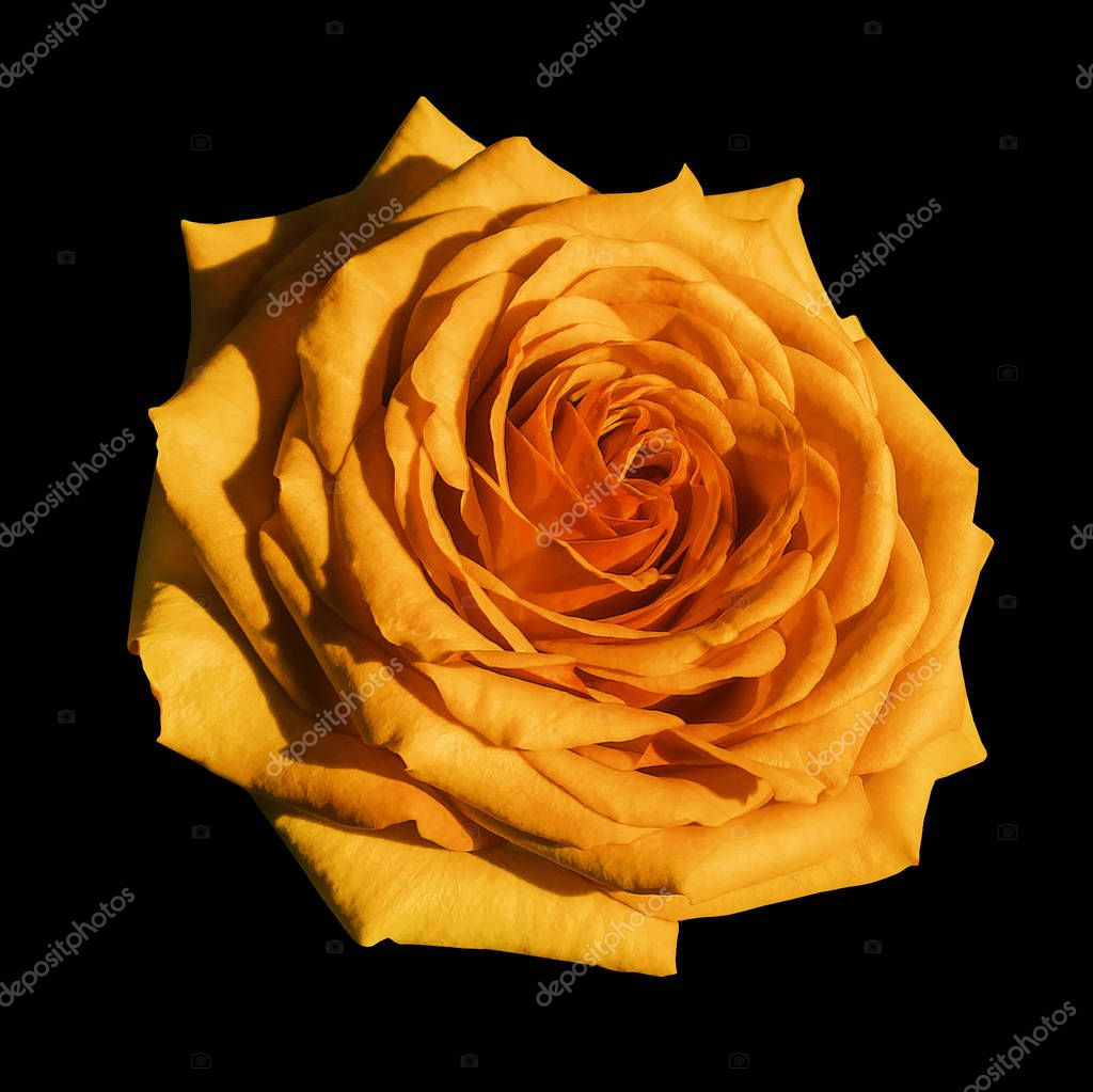 Orange rose flower  black isolated background with clipping path.  Closeup no shadows. Nature.