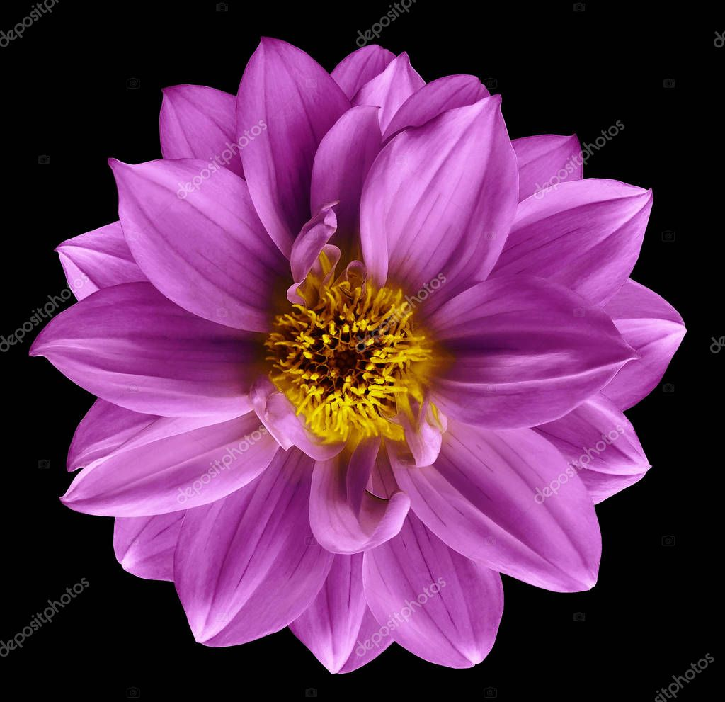 Pink flower on  isolated black isolated background with clipping path.  Closeup. Beautiful  Bright pink  flower for design. Dahlia. Nature.
