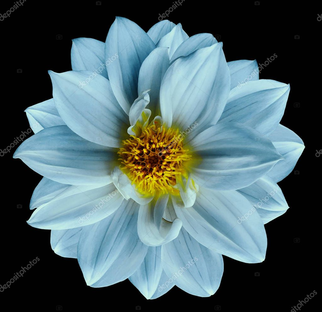 Turquoise flower on  isolated black isolated background with clipping path.  Closeup. Beautiful  Bright turquoise  flower for design. Dahlia. Nature.