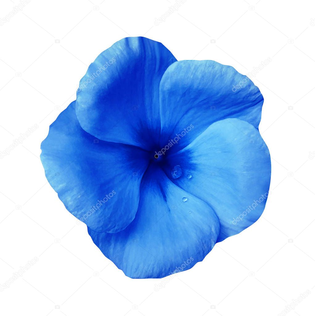 Blue  flower on isolated white background with clipping path.  Closeup. Beautiful blue flower Violets for design.  Nature.