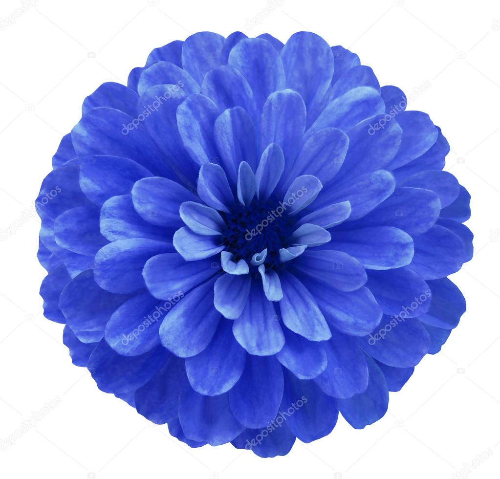 Blue  flower  on white isolated background with clipping path  no shadows. Beautiful daisy flower for design. Closeup.  Nature.