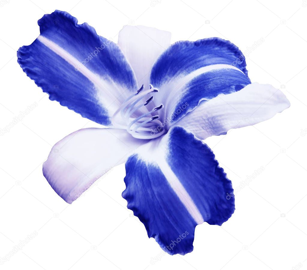 White-blue  flower  lily on white isolated background with clipping path  no shadows. Closeup.  Nature.