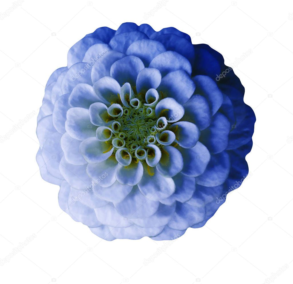 Light blue  flower   on  white isolated background with clipping path  no shadows. Closeup.  Nature.