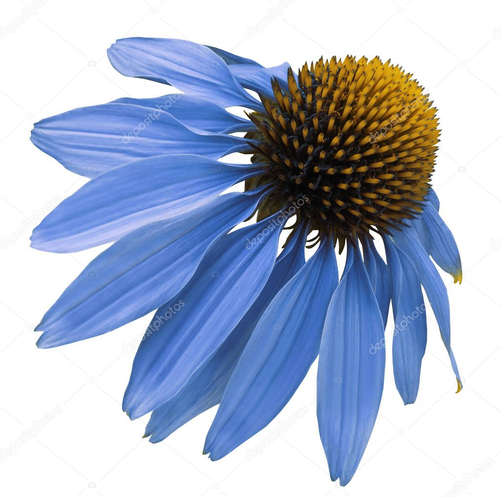 Flower blue Chamomile on white isolated background with clipping path. Daisy blue-yellow for design.  Closeup no shadows. Nature.