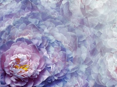 Floral purple-pink background.  Flowers and peony petals.   Close-up.   .  Flower composition. Nature.