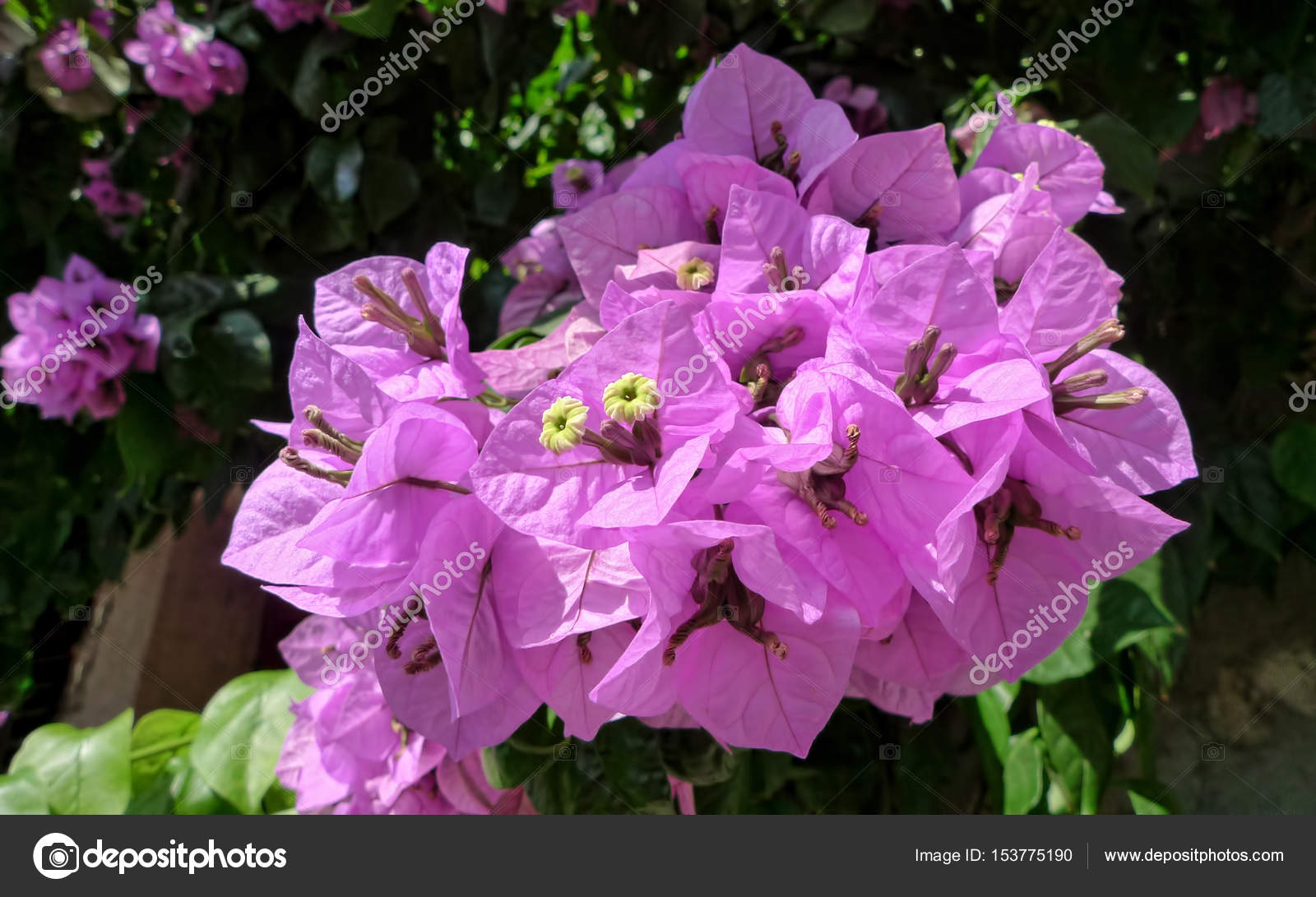 Bougainvillea Paper Flower In Pink Color Close Up Stock Photo