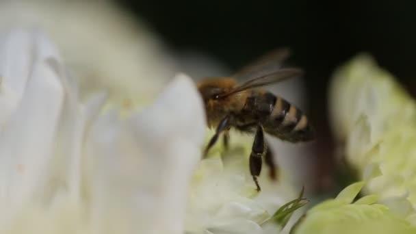 Close Up Bee na Daisy květ, včela sbírá nektar v květy sedmikrásky, včela opyluje květ. Vítr pohybuje okvětní lístky květu. Včely jsou létající hmyz