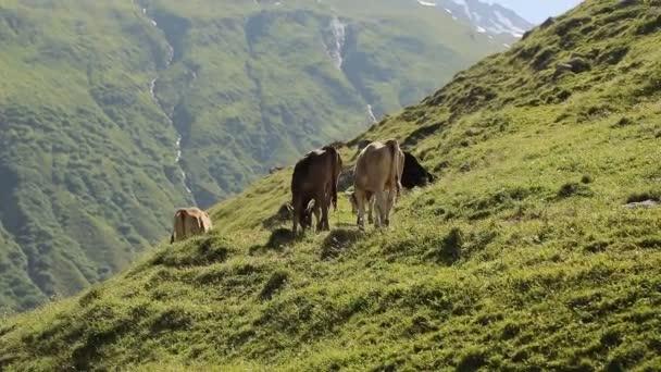 Mnoho krav v horách