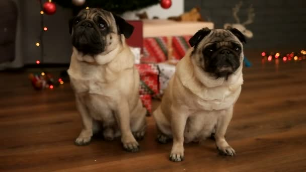 Couple of pug dog sitting on the floor near Christmas tree with gift box.