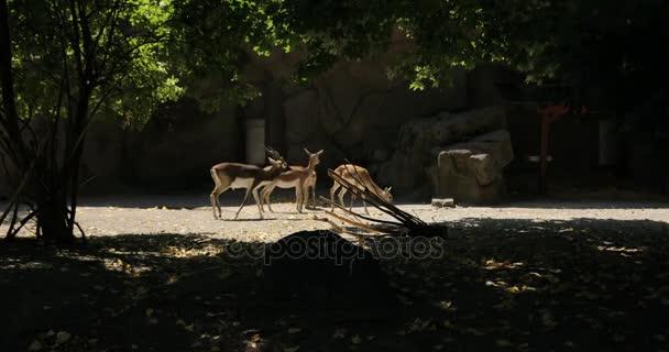 Red Deer skupina v lese pastvu a rozhlížel se kolem. bílé sledoval jelena plavá pást v lese. Dudapest zoo