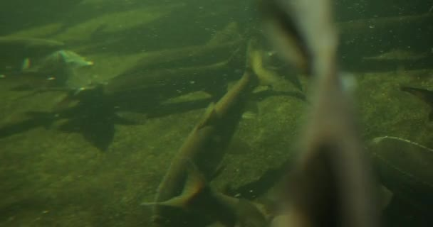 Underwater view of various fish swimming including trout, salmon and sturgeon