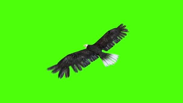Amerikai sas repül vissza zöld képernyő 3d vakolatok animációk