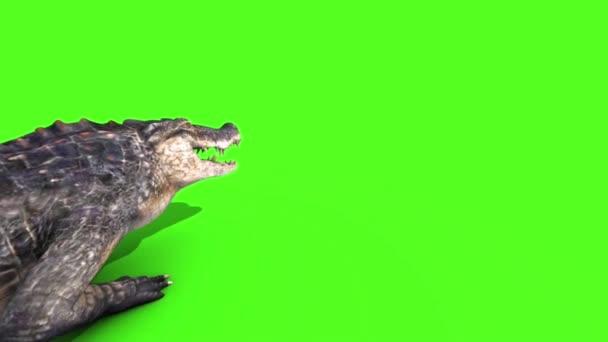 Alligator Crocodile Reptile Walks Back Green Screen