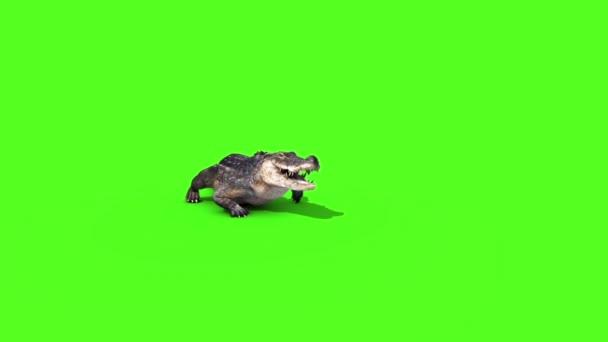 Alligator Crocodile Reptile Walks Front Green Screen