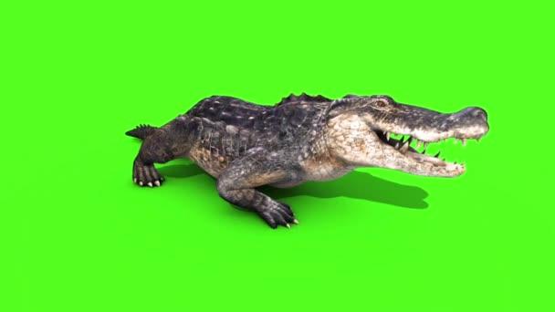 Alligator krokodýl plaz statické procházky přední smyčku zelená obrazovka