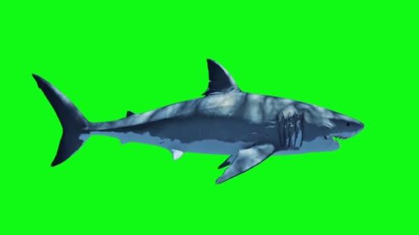 Weißer Hai schwimmt schnelle Schleife Seite grüner Bildschirm 3D-Rendering-Animation