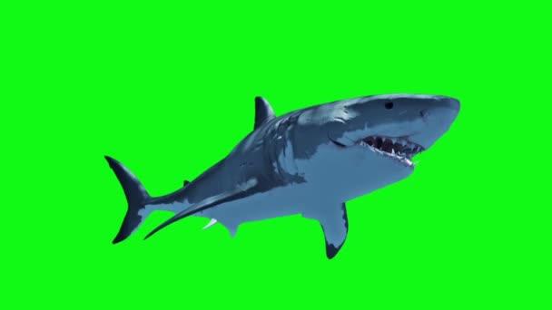 Weißer Hai schwimmt schnelle Schleife grüner Bildschirm 3D-Rendering-Animation