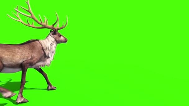 Állati rénszarvas séta vissza zöld képernyő 3d Rendering animáció