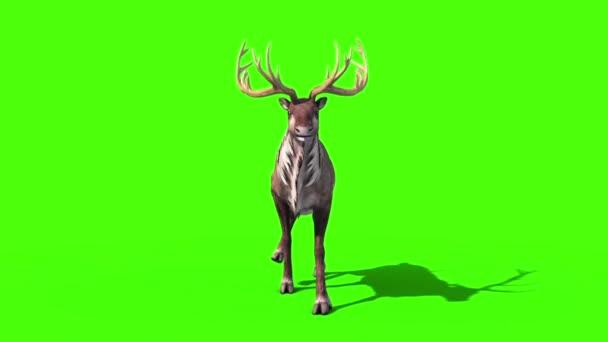 Állati rénszarvas Walkcycle első zöld képernyő 3d megjelenítő animáció