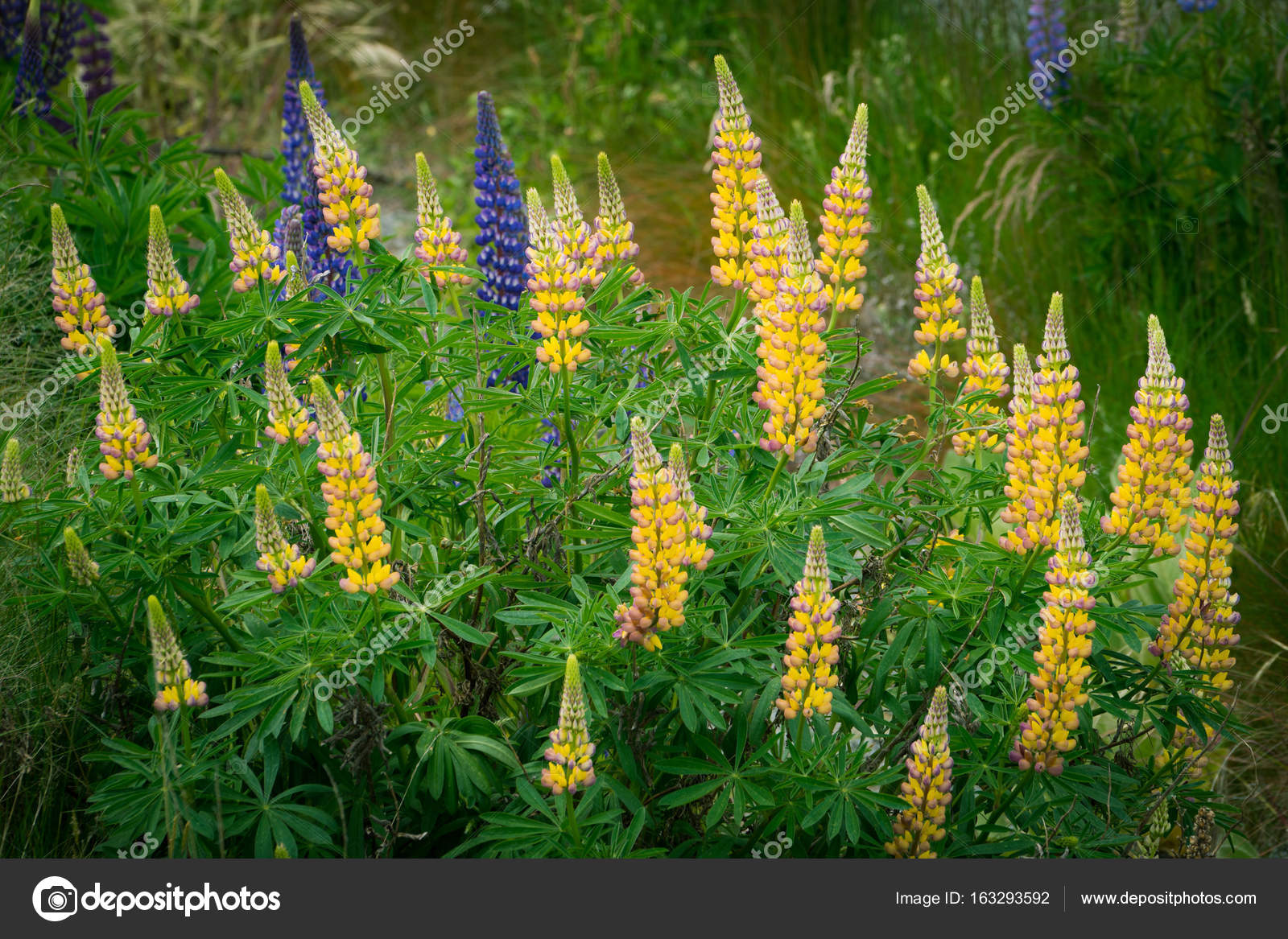 Fleur De Lupin Jaune Photographie Biancoblue C 163293592