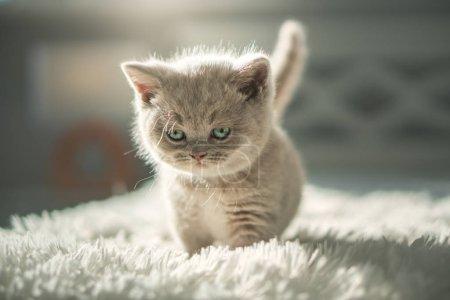 Photo pour Cute Shorthair Kitten britannique À l'intérieur - image libre de droit