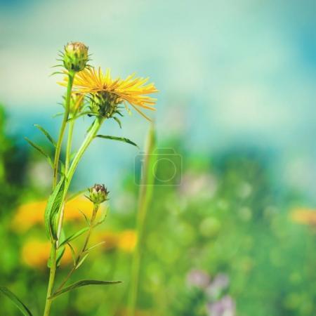 Photo pour Paysage d'été avec des fleurs sauvages et luxuriante Prairie - image libre de droit
