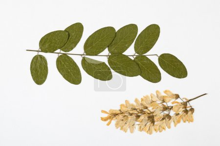 Robinia pseudoacacia herbarium on white