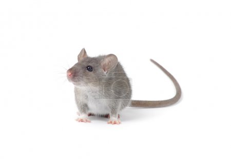 Little rat isolated on white