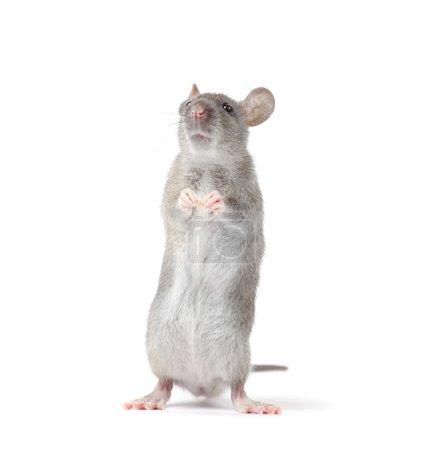 Little rat isolated on white