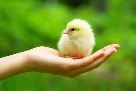 Hand Holding Baby Chick