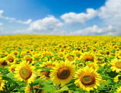 Sunflower field and blue sky