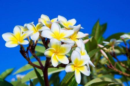 Photo pour Plumeria fleurs gros plan sur fond bleu - image libre de droit