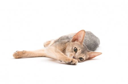 cute Abyssinian kitten