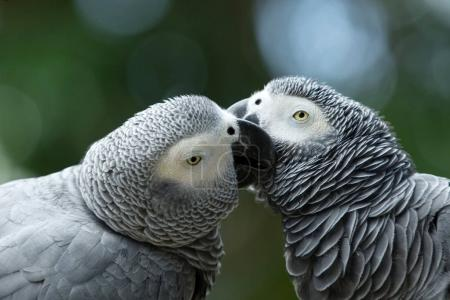 two parrot birds