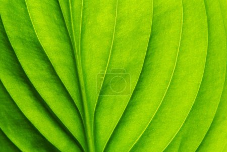 Texture of a green leaf