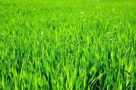 Photo pour Texture d'herbe verte d'un champ - image libre de droit
