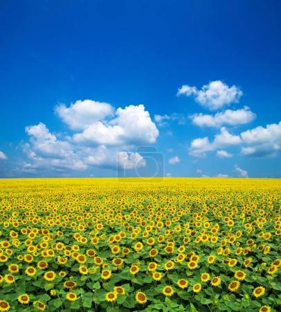 sunflowers at summer field