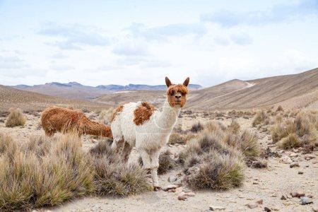 Foto de Lindos lamas en Andes, Montañas, Perú - Imagen libre de derechos