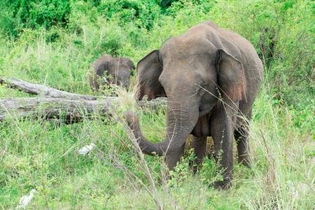 Young elephant right next to an adult one.