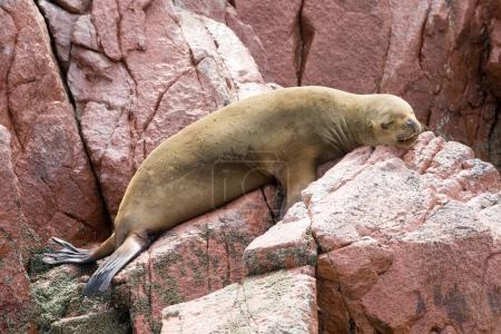 Wild fur seal rests on rock