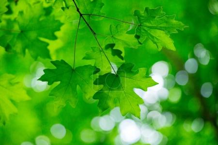 green maple leaves, selective focus