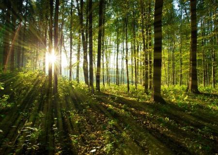Foto de Rayos solares a través de los árboles del bosque. Fondo madera naturaleza verde - Imagen libre de derechos