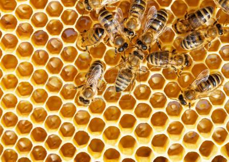 Cute bees swarming on rich honeycomb.