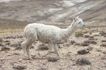 Photo pour Lama dans les Andes, les montagnes, Pérou - image libre de droit