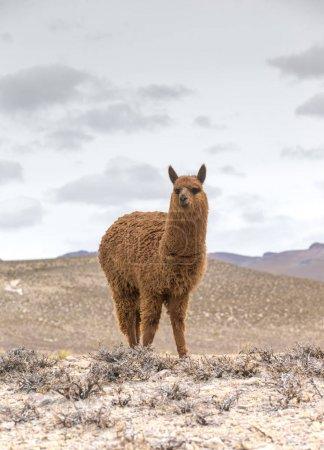 Foto de Lama caminando en Andes, Montañas, Perú - Imagen libre de derechos