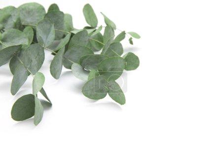 Photo pour Feuilles vertes eucalyptus. branches eucalyptus isolé sur fond blanc . - image libre de droit