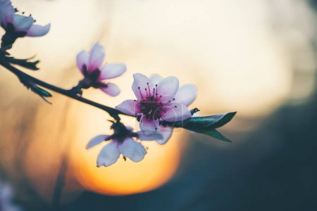 Photo for Beautiful blooming peach trees in spring on a Sunny day. Soft focus, natural blur, close up - Royalty Free Image