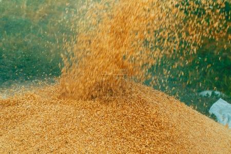 Barley grain in pile