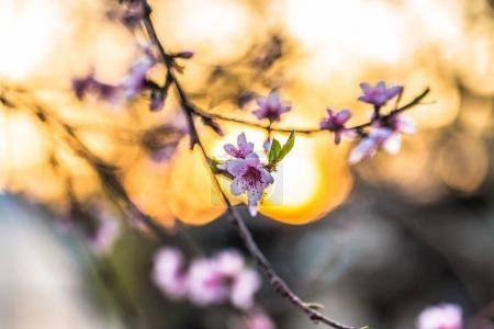 Photo for Beautiful blooming peach trees in spring on a Sunny day. Soft focus, natural blur - Royalty Free Image